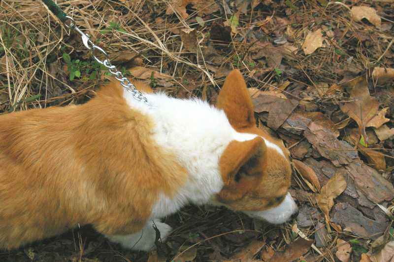 red and white welsh corgi, champion sired